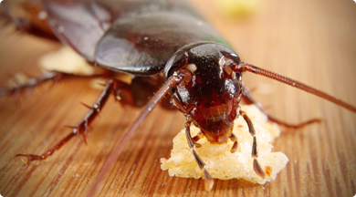 Cockroach eating crumbs on a table