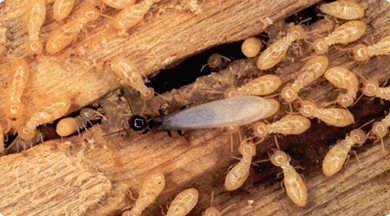 Termites eating wood