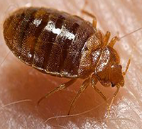 Bed bug removal needed in Arizona