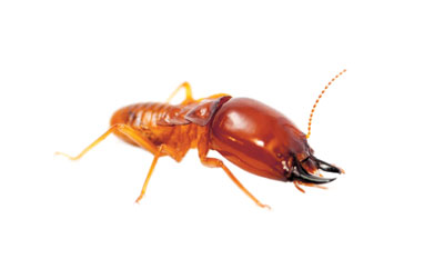 earwig up close