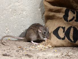 mouse-eating-grain